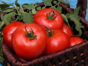tomato germination
